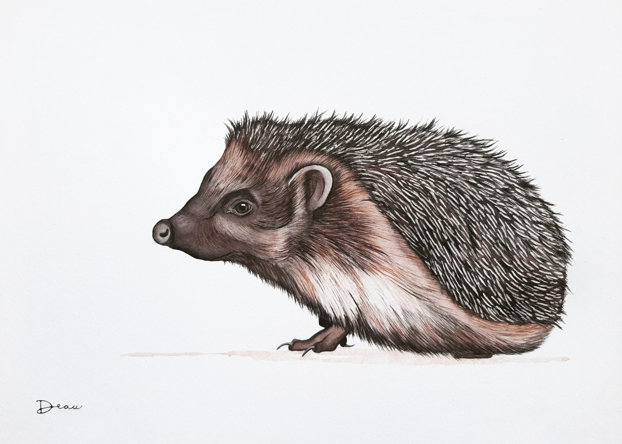 Thierry - European Hedgehog | SOLD