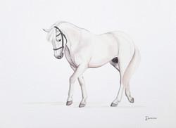 Snowy - Connemara pony | Commissioned
