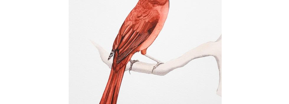 Red - Northern Cardinal