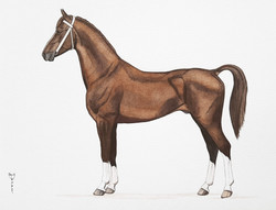 Dutch Harness Horse | €200