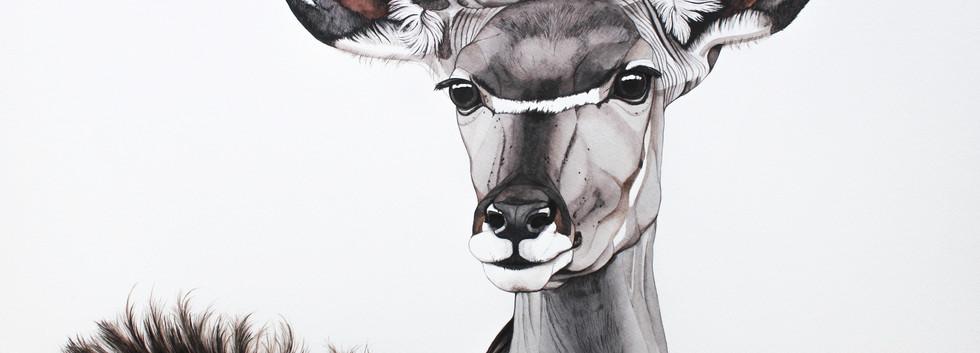 Michiels Greater Kudu - female | € 950,-