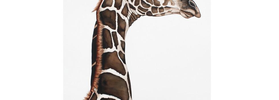 Sim - South African Giraffe