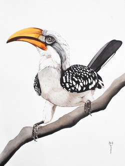 Zazu - Eastern Yellow-billed Hornbill