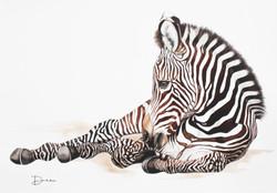 Jules - Grevy's Zebra Foal