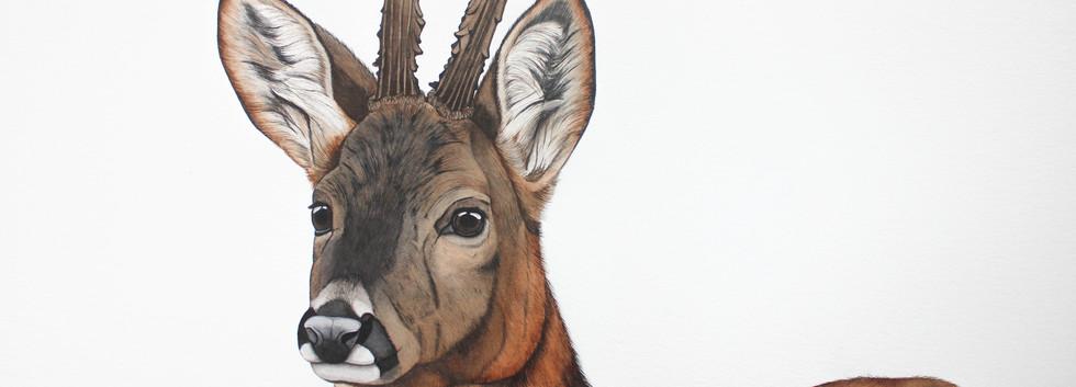 Floris - Roe Deer   SOLD