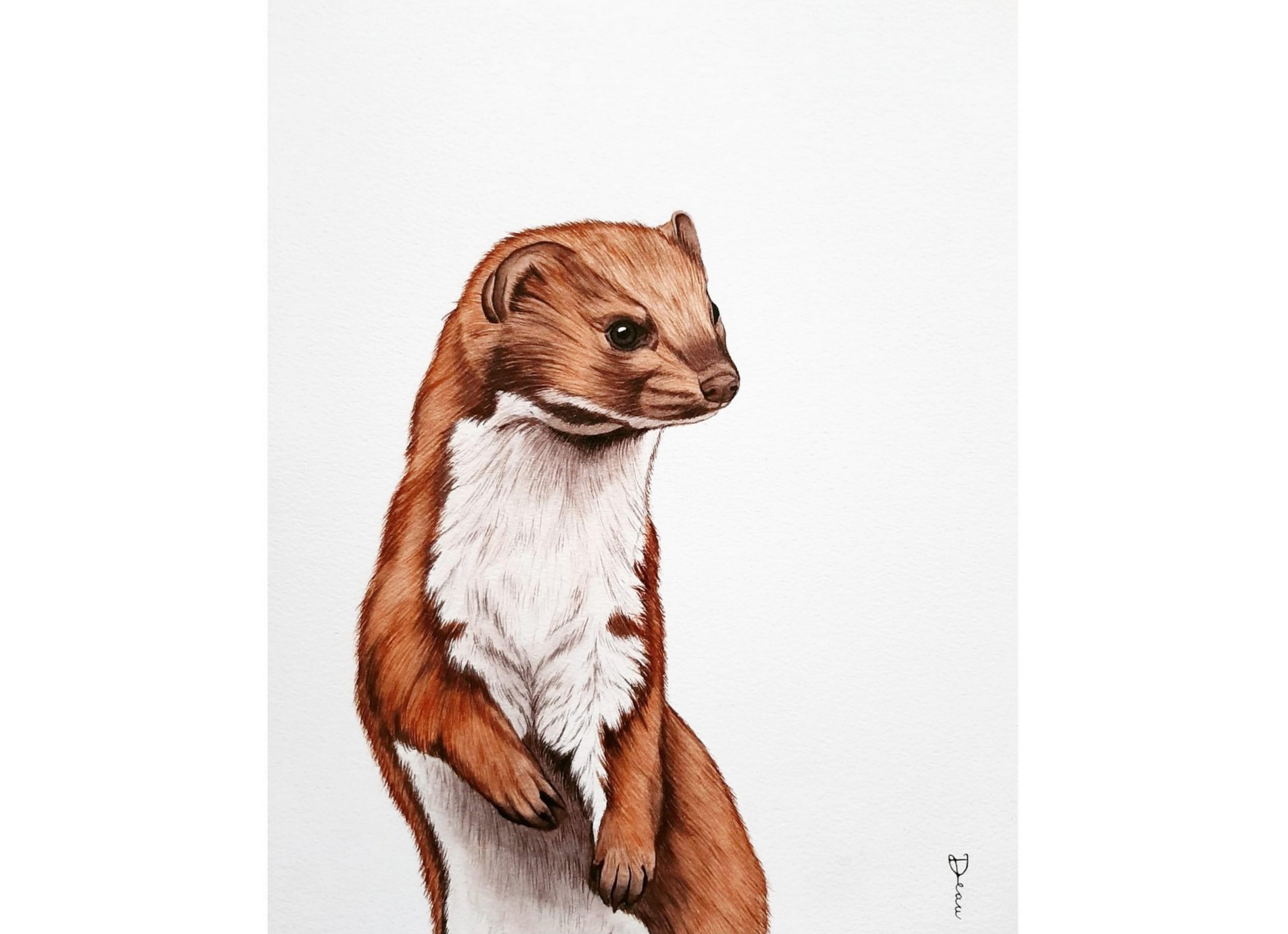 Common Weasel | €250