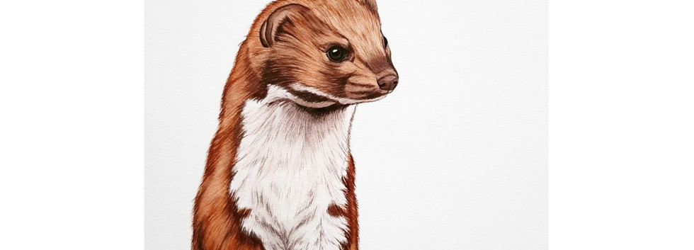 Willem - Common Weasel