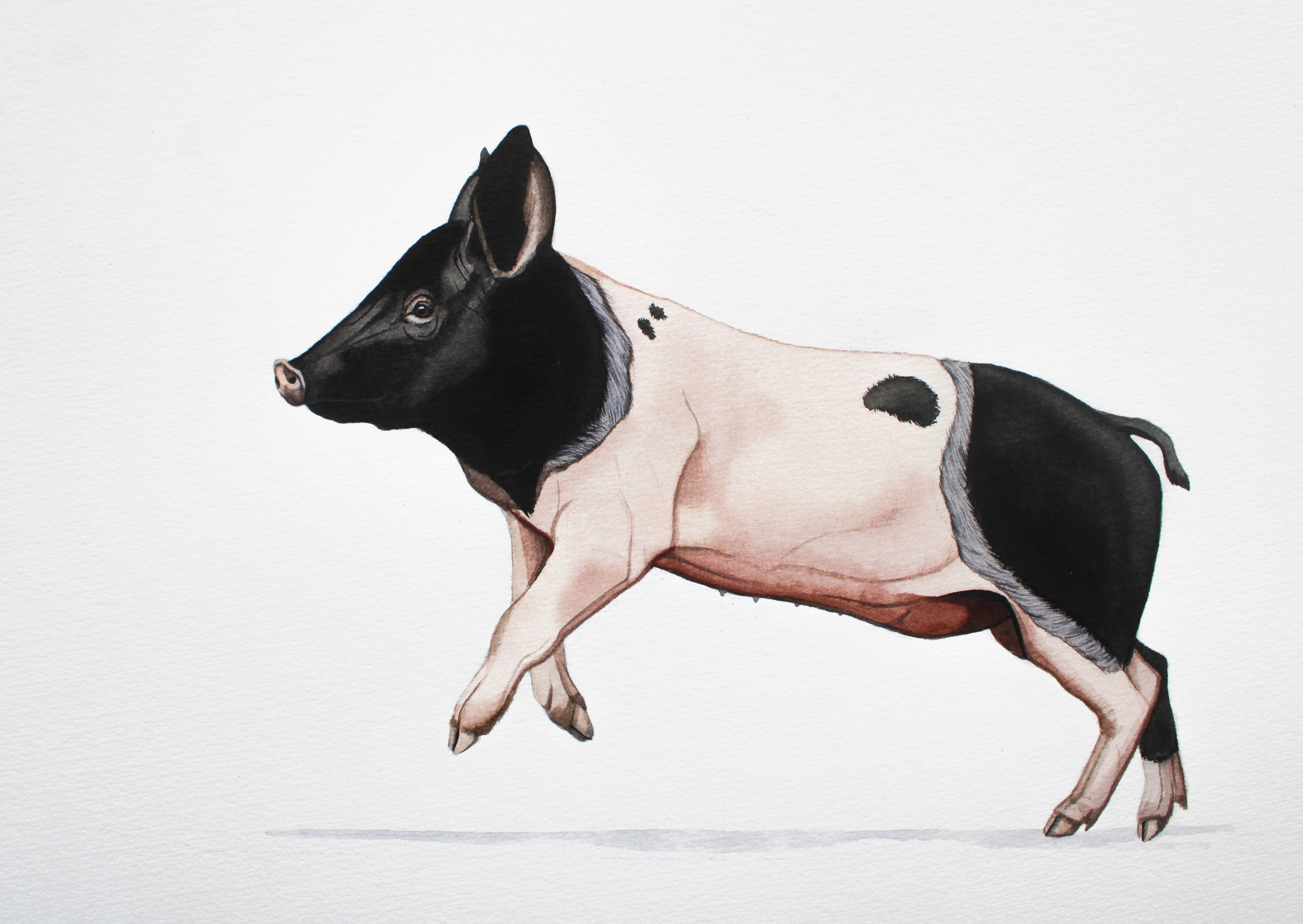 Angeln Saddleback Pig | € 200