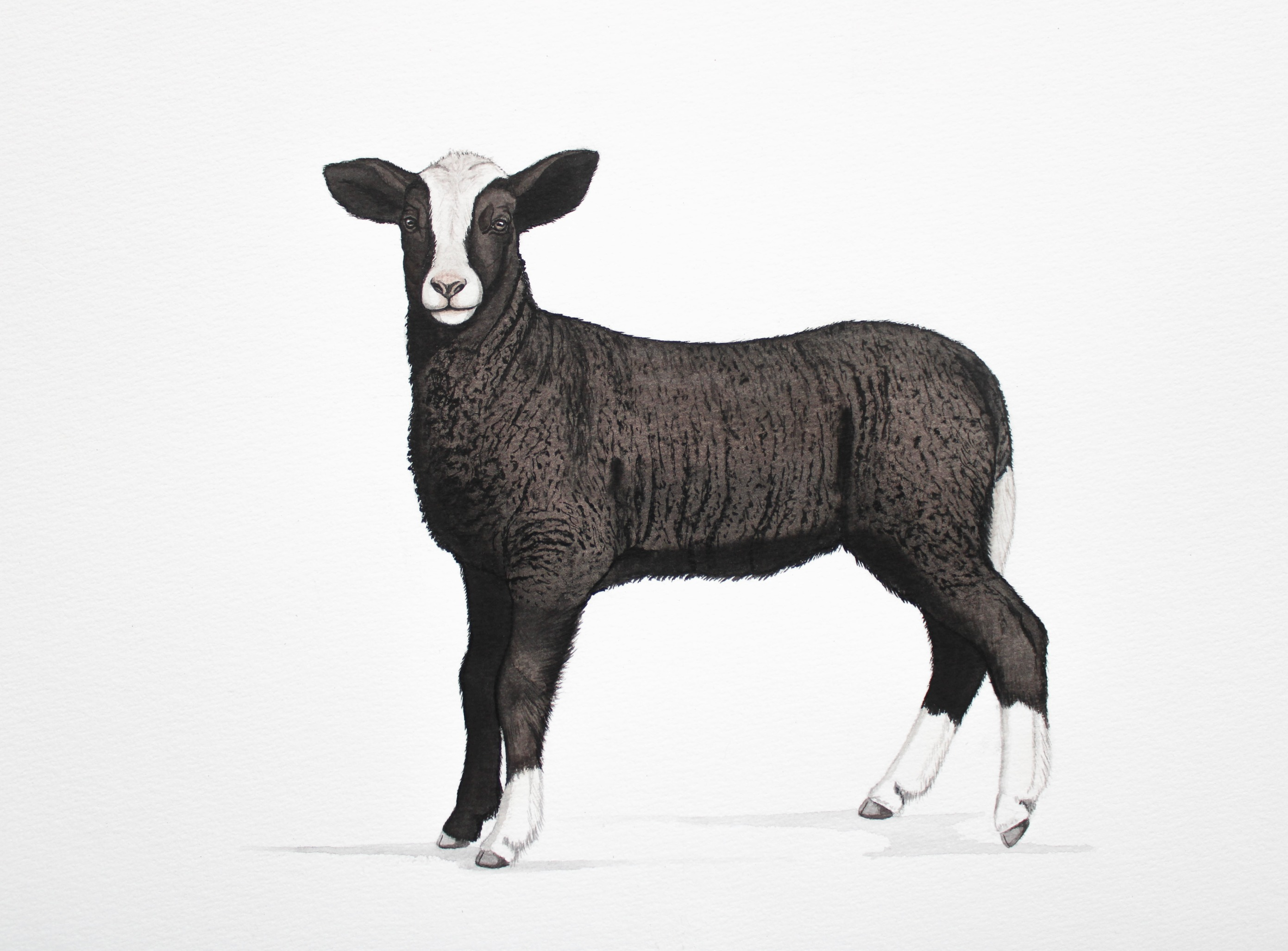 Zwartbles Lamb  |  € 250