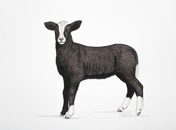 Little Dutchman - Zwartbles Lamb