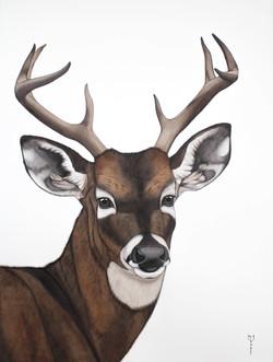 Bambi - White-tailed Deer