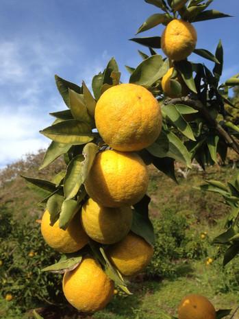 花粉症対策(ジャバラの果実と果汁の販売)