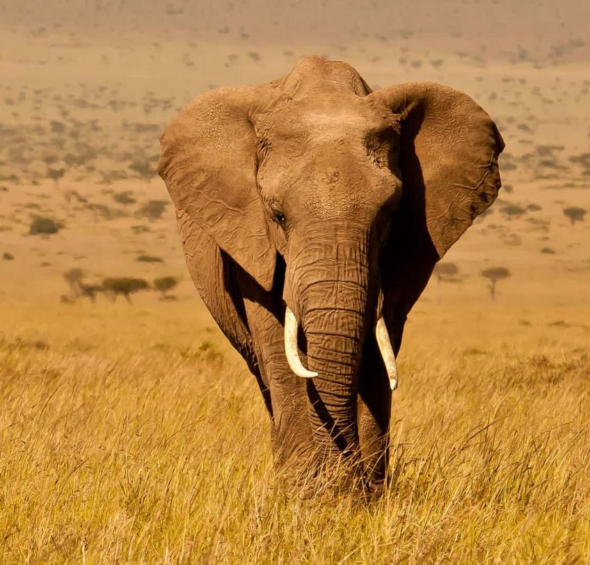 kenya-wildlife-elephant-copyright-will-b