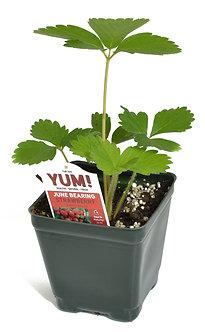 "Strawberry  Ever Bearing  3.5"" Pot"