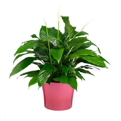Peace Lily w/pot