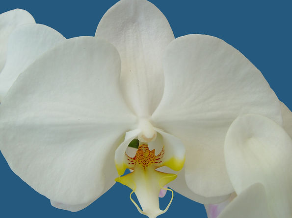 Orchid - White & Yellow