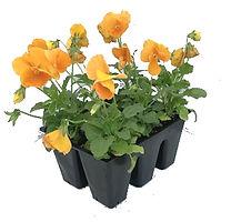 pansy-market-pack-orange.jpg