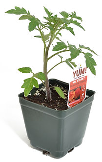 "Tomato ' Mr. Stripey' 3.5"" Pot"
