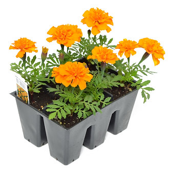 Marigold Orange Market Pack