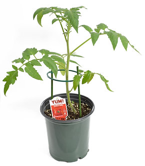 Tomato 'Early Girl' 1 Gallon Pot