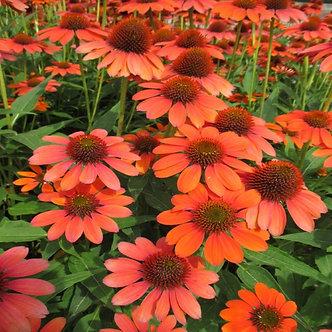 Echinacea Sombrero Flamenco Orange #1