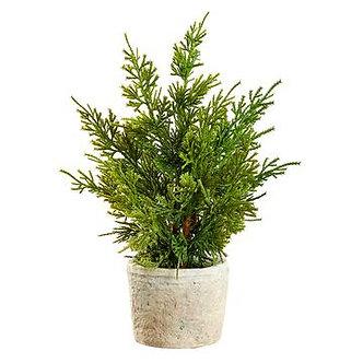 12CEDAR TREE IN T/C POT GR