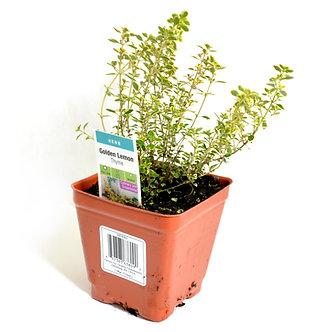 "Thyme  4"" Pot"