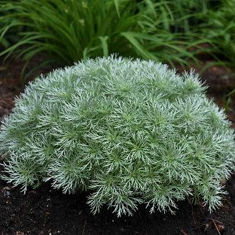 Artemisia sch. 'Silvermound' #1