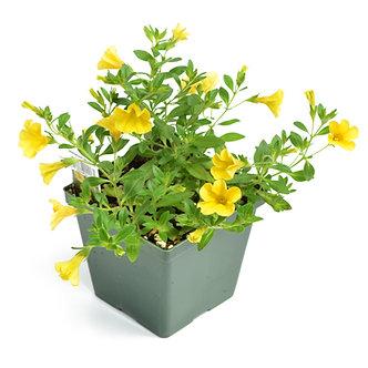 "Calibrachoa 'Minifamous Uno Yellow' 4.5"" Pot"