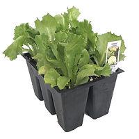 great-lakes-lettuce-market-pack.jpg