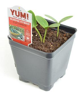 "Cucumber 'Burpee Hybrid' 3.5"" Pot"