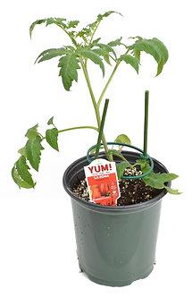 Tomato 'La Roma' 1 Gallon Pot