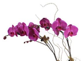 Phaleanopsis in Pot