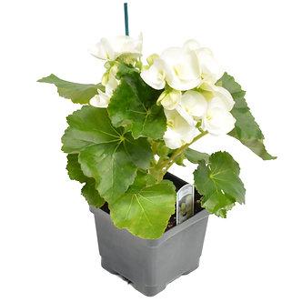 """Rieger Begonia Clara White 4.5"""" Pot"""