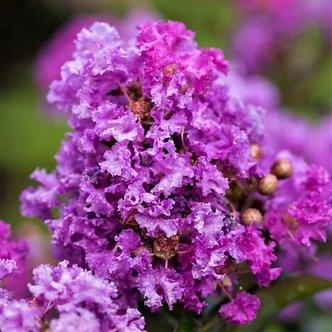 Crape Myrtle Purple Magic  3 GA
