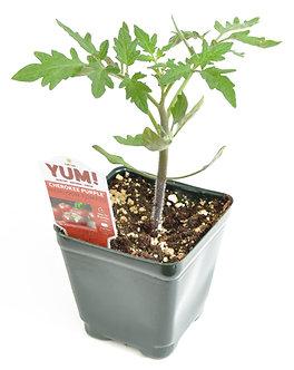 """Tomato Heirloom 'Cherokee Purple' 3.5"""" Pot"""