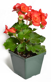 "Begonia 'Non Stop' 4.5"" Pot Assorted Colors"