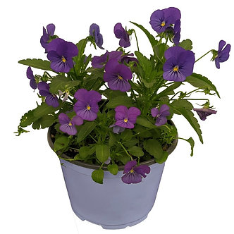 "Viola 4.5"" Assorted Colors"