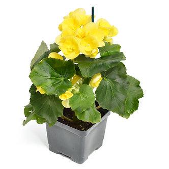 "Rieger Begonia Yellow 4.5"" Pot"