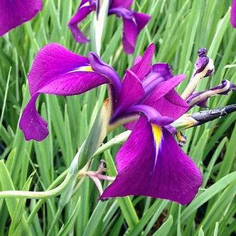 Iris ensata 'Variegata' 3QT