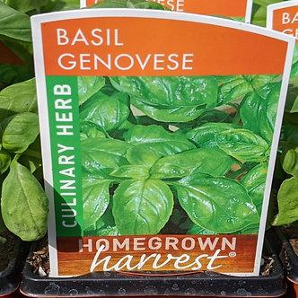 "Basil - Genovese 4"""
