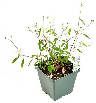"""Euphorbia 'Breathless White' 4.5"""" Pot"""
