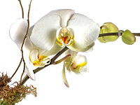 Miniature Orchid in Glass w/Ivy