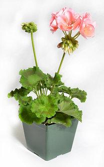 """Geranium 4.5"""" Pot Assorted Colors"""