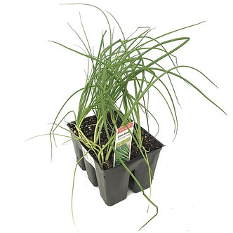 Chives Market Pack