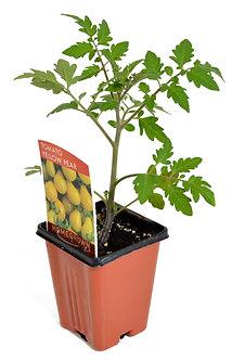 """Tomato 'Yellow Pear' 3.5"""" Pot"""