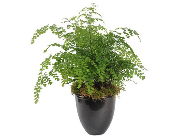 Maidenhair Fern in Pot