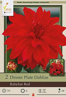 DAHLIA DINNER PLATE BABYLON RED