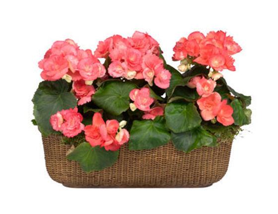 Rieger Begonia in Basket