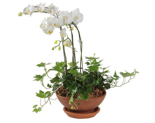 White Phaeleanopsis Dish Garden